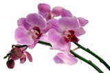 pretty orchid Phalaenopsis close up