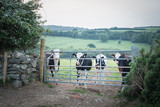 Rindvieh - Weidehaltung, Rinder warten am Zaun
