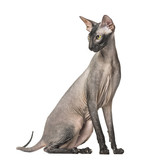 Peterbald, naked cat, sitting,  isolated on white