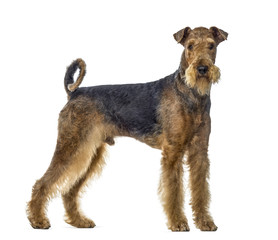 airedale terrier dog standing and looking at the camera, isolate
