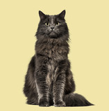 Mixed-breed cat whit a main coon  (1 year old), on beige backgro