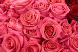 Many pink roses - 183788037