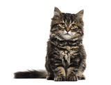 Stripped kitten mixed-breed cat sitting and looking at the camer