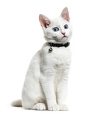 White kitten mixed-breed cat wearing a bell collar, isolated on