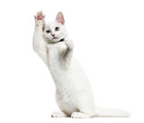 White kitten mixed-breed cat wearing a bell collar standing on h