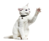 White kitten mixed-breed cat wearing a bell collar and playing,