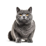 Grey british shorthair cat, isolated on white - 183789210