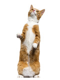 Ginger mixed-breed cat standing on hind legs, looking up, isolat