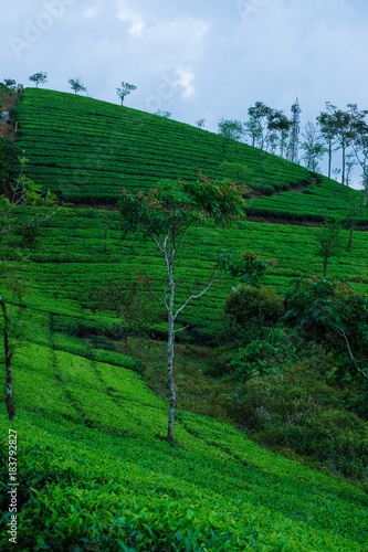 Foto op Aluminium Groene ​ Tea plantation farm hills, Beautiful greenery of Tea garden