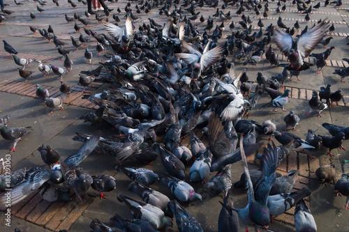 Close up of dozens of pigeons in Bolivar square in Bogota, Colombia, Latin America