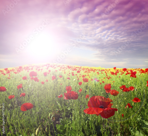red poppies and green gras