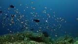 School of  Chromis Damsel, Chromis sp, hiding in a coral , WAKATOBI, Indonesia, slow motion - 183802045