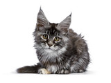 Tortie multi colored Maine Coon kitten / cat laying down facing front isolated on white background looking straight into camera - 183812659