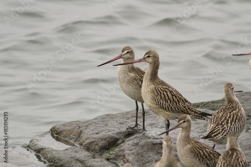 Flock of sandpipers