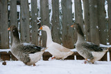 goose in the snow in the winter - 183826485