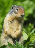Closeup of a Columbia Ground Squirrel - 183828269