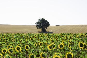 El árbol que miraban los girasoles