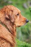 Wet Golden Retriever After Swim - 183851297