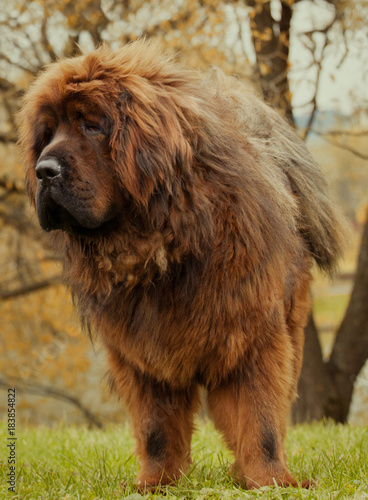 In de dag Gras Tibetan Mastiff dog autumn street Moscow