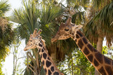 Two giraffes in front of palm trees.