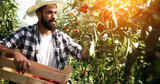 Male farmer picking fresh tomatoes from his hothouse garden - 183916849