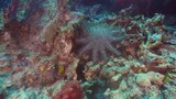 Crown of thorn starfish coral reef. Dive, underwater world, corals and tropical fish. Bali,Indonesia. Diving and snorkeling in the tropical sea. 4K video. - 183925296