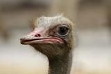 Image of an ostrich bird head on nature background. Farm Animals. Bird. - 183937686