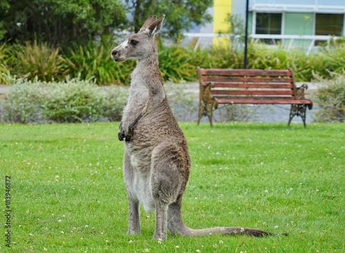 Aluminium Kangoeroe A wild grey kangaroo in Canberra, Australian Capital Territory