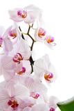 Pink phalaenopsis blossom
