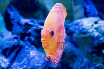 discus exotic fish color aquarium nature animal