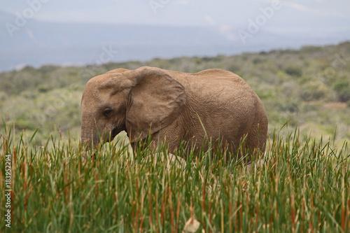 Elephant im hohem Gras Poster