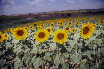 Yellow sunflowers look very beatiful