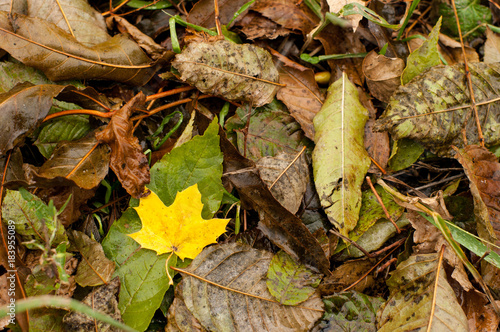 Wet yellow leave among other fallen leaves in autumn © yura.photo