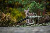 Adult Male Cougar (Puma concolor) Paw Forward on Rock - captive anima - 183967094