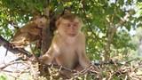 Funny Small Wild Monkey Sitting on a Tree in Park. Phuket Town Monkey Hill. Phuket, Thailand. 4K. - 183970801