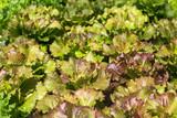 Red oak lettuce. - 183972477