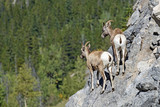 Rocky Mountain Bighorn Ewes-6431 - 183975210