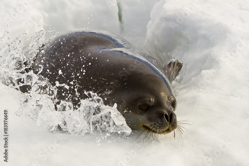 Weddell seal(leptonychotes weddellii)peeking out of hole in ice in the Davis sea Poster