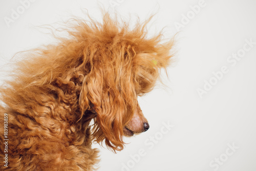 Tuinposter Eekhoorn Poodle with Golden Brown Fur on a white background