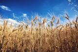wheat field - 183992441