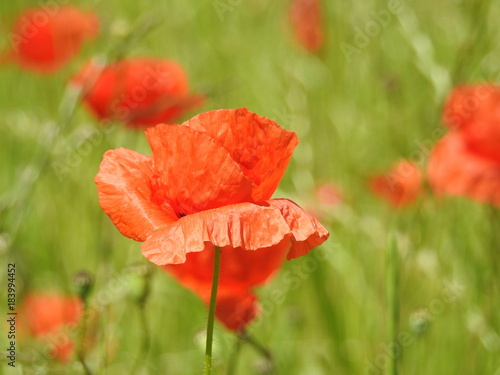 Staande foto Klaprozen Buttons of gold, and poppies enliven the fields of summer by their color and delicacy.