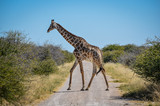 Giraf crossing