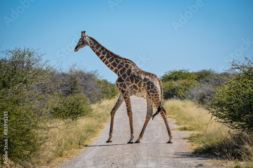 Giraf crossing Poster