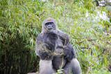 Gorilla making faces