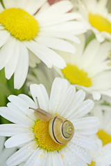 snail on a flower. a small snail crawls over the daisy. beautiful  natural background