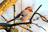 the jay poses for the photo - 184040461