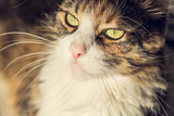 Lovely and relaxed Maine Coon cat closeup portrait