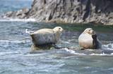 Тюлени ларга на камнях в Японском море в пасмурную погоду - 184055664