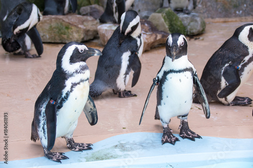 Plexiglas Pinguin ペンギン