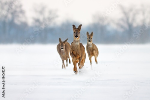 Fotobehang Hert Group of three Roe deer Capreolus capreolus does in winter. Deer running in deep snow towards camera with snowy background. Action willdlife image of approaching wild animals.